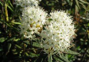 800px-Rhododendron_groenlandicum